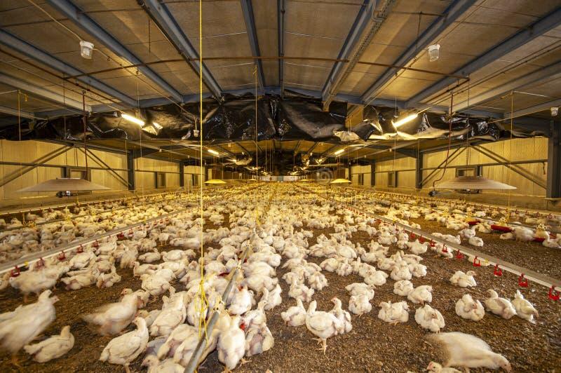 Polli in un granaio di un allevamento di pollame immagine stock libera da diritti