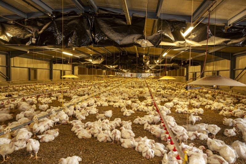 Polli in un granaio di un allevamento di pollame immagini stock