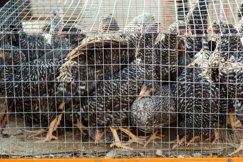 Polli in una gabbia Azienda agricola del ` s dell'uccello fotografia stock