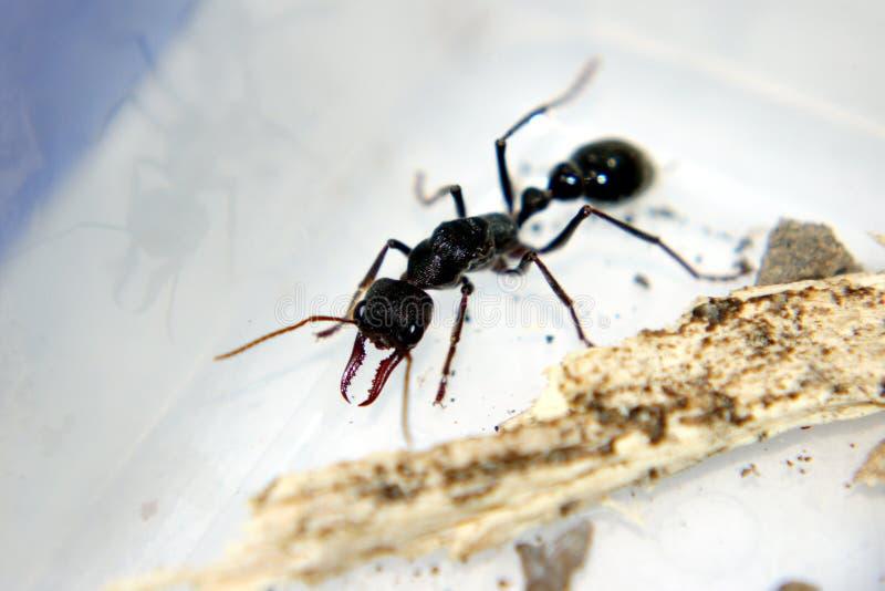 Pollice Ant Which Bit Me immagini stock libere da diritti
