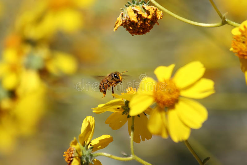 Pollinated royalty free stock photography