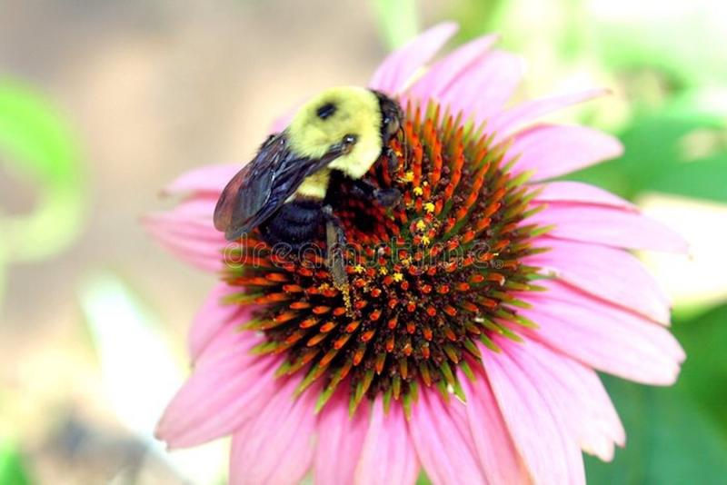 Pollinating Bee stock photography