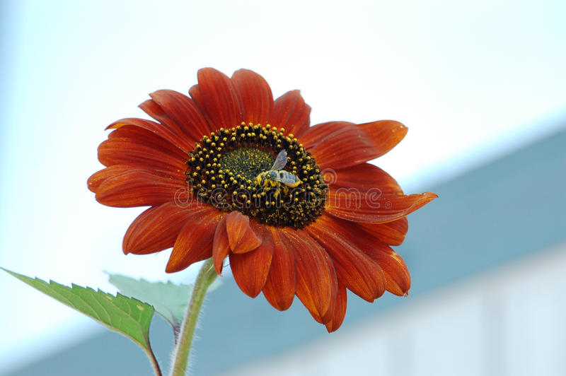 Pollinating royalty free stock image