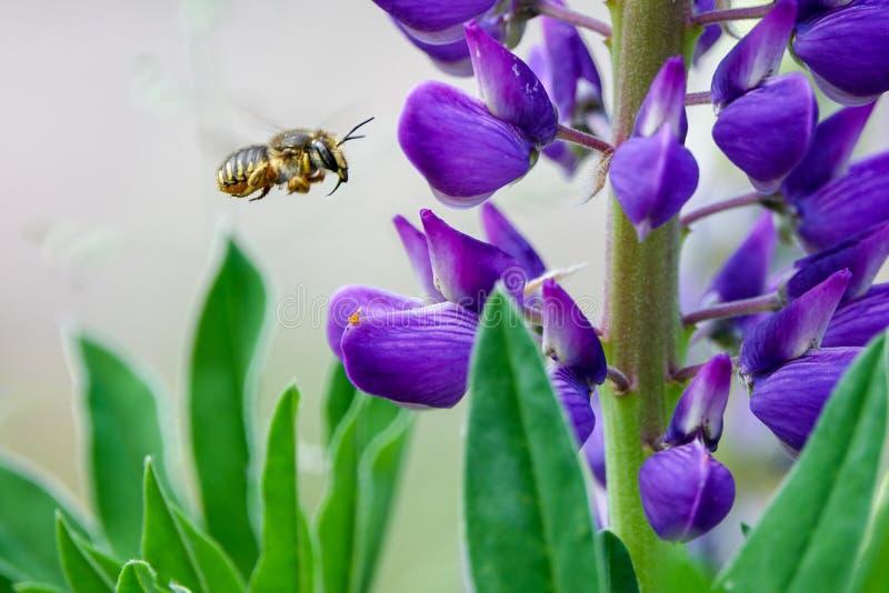 pollination Пчела летает и собирает нектар от фиолетового lupine стоковые фотографии rf