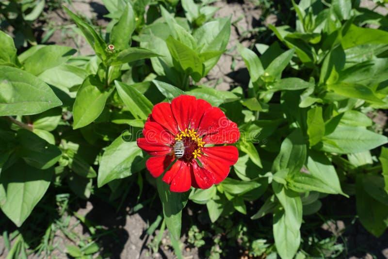Pollination av den röda blomman av zinniaen arkivbilder