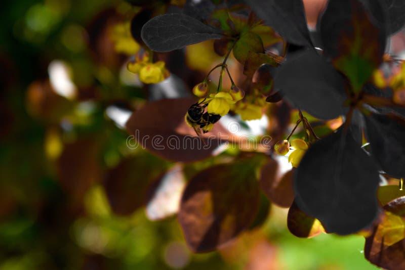 Pollination av en blomningbuske royaltyfri bild