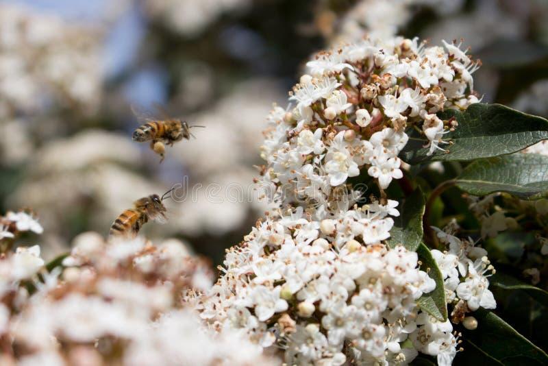 Pollination, bin och pollen arkivfoto