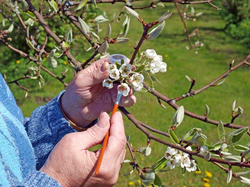 Pollination 2 för päronträd royaltyfria bilder