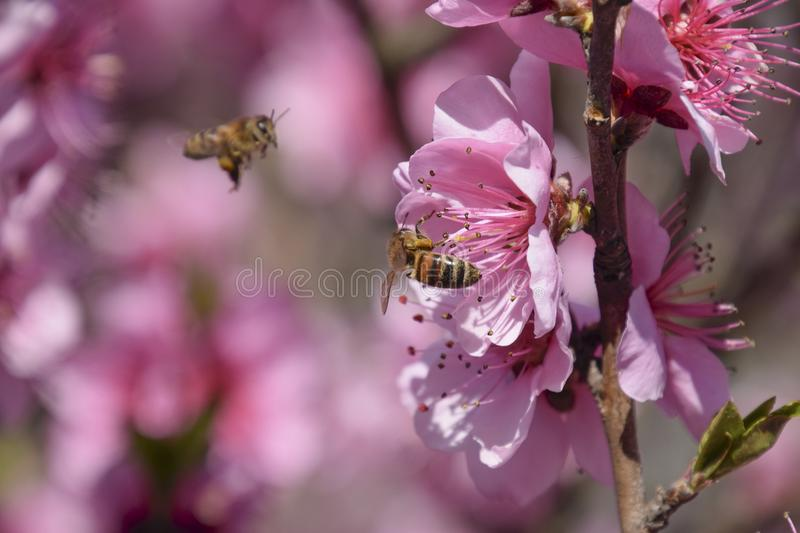Pollination of flowers by bees peach. royalty free stock photos