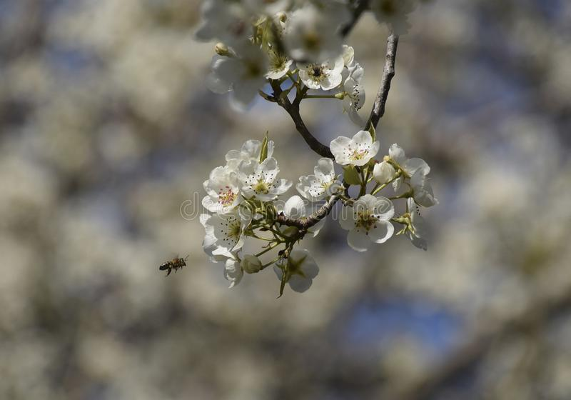 Pollination of flowers by bees pears stock photo