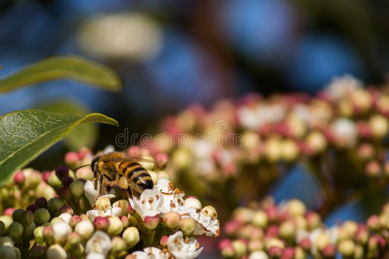 Pollination, the great work of the bees, they visit the flowers collect the nectar collecting the pollen in the down on the royalty free stock photography