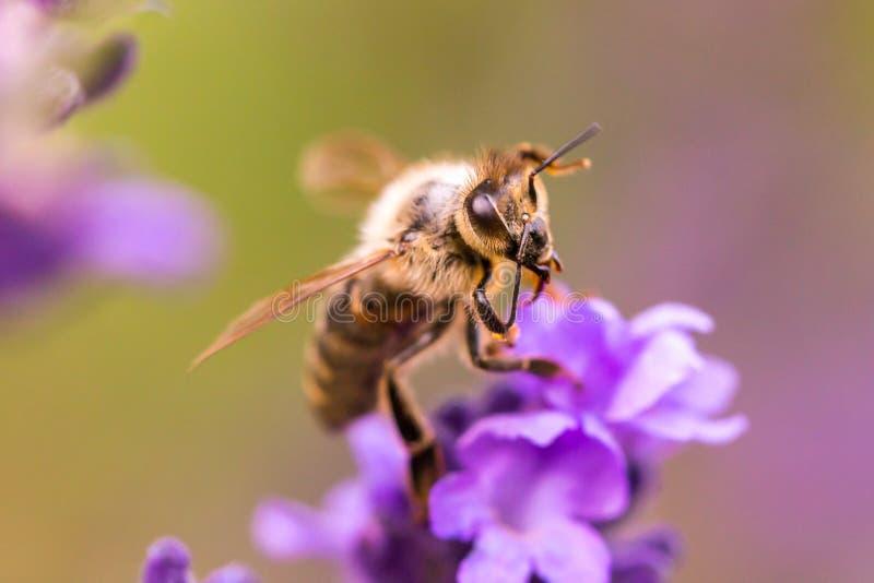 Pollination med biet och lavendel under solsken, solig lavendel royaltyfri bild