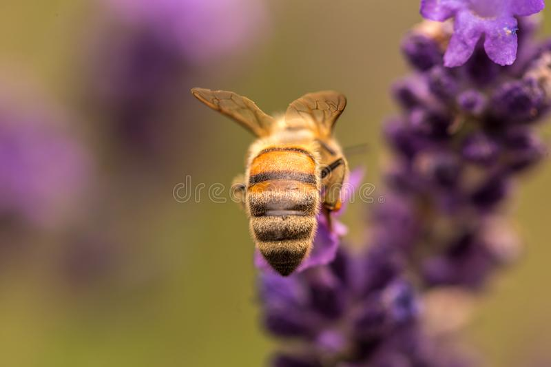 Pollination med biet och lavendel under solsken, solig lavendel royaltyfria foton