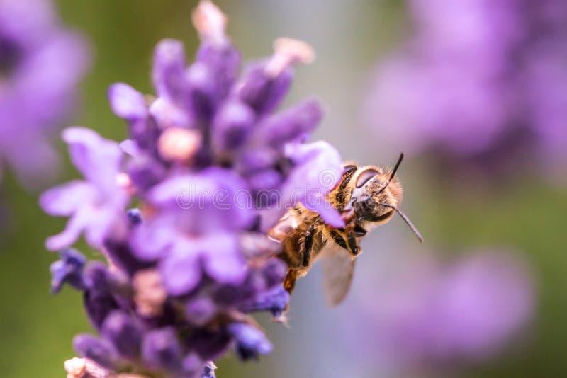 Pollination med biet och lavendel under solsken, solig lavendel arkivbilder