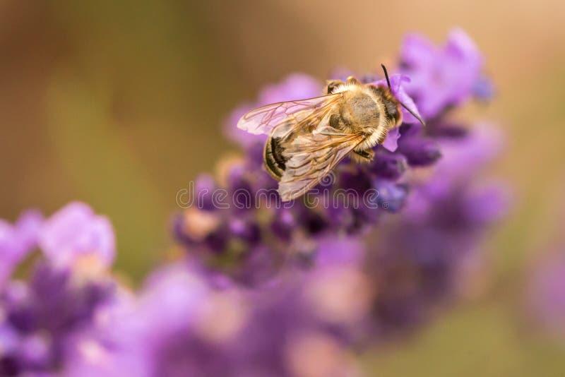 Pollination med biet och lavendel under solsken, solig lavendel royaltyfri fotografi