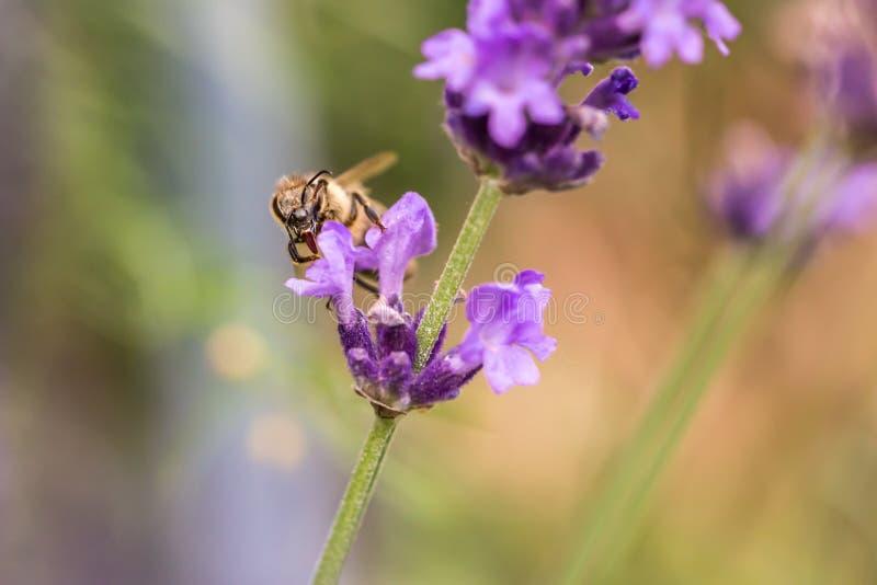 Pollination med biet och lavendel under solsken, solig lavendel fotografering för bildbyråer