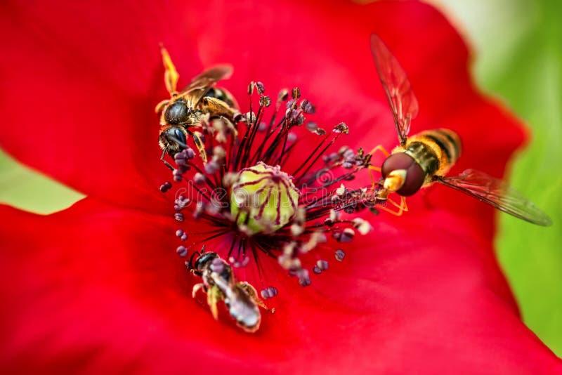 Pollination med bin på en röd blomning, kryp och djurlivmakro arkivbild