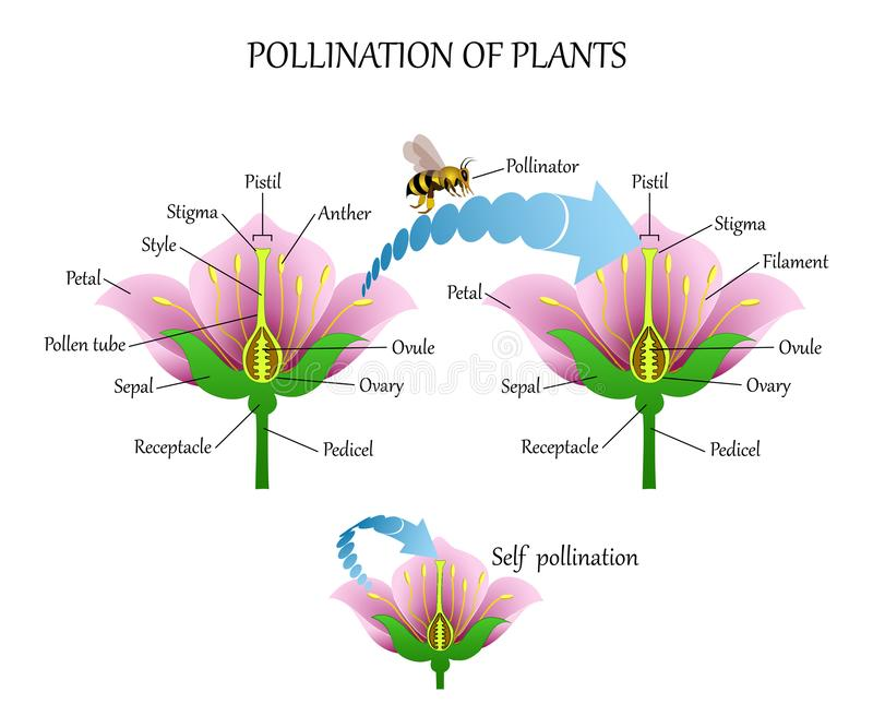 Pollinating plants with insects and self-pollination, flower anatomy education diagram, botanical biology banner. Vector illustrat vector illustration