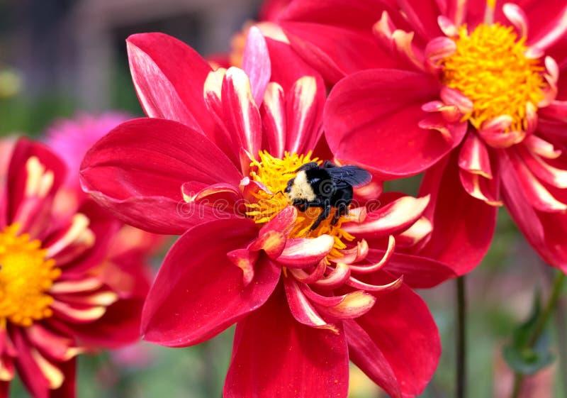 Pollination of a Red Dahlia stock photos