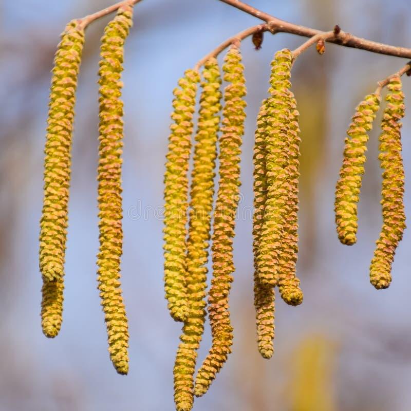 Pollination vid biörhängehasselnöten Hasselnöt för blomninghasselträ fotografering för bildbyråer