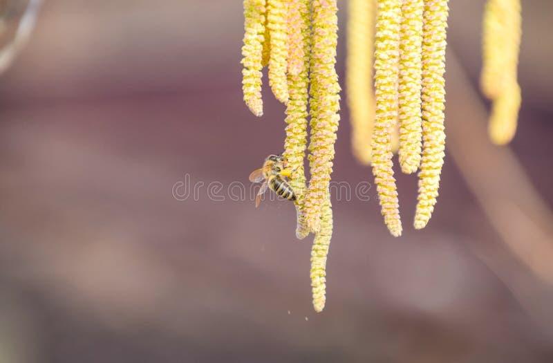 Pollination vid bi?rh?ngehasseln?ten Hasseln?t f?r blomninghasseltr? fotografering för bildbyråer