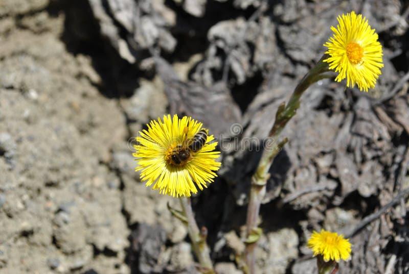 pollination vid biblomman av Tussilà ¡ går fá rfaraen på grå färgjordning arkivbild