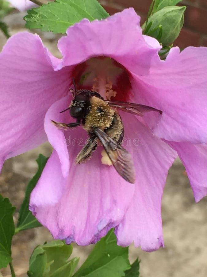 pollinator στοκ εικόνα με δικαίωμα ελεύθερης χρήσης