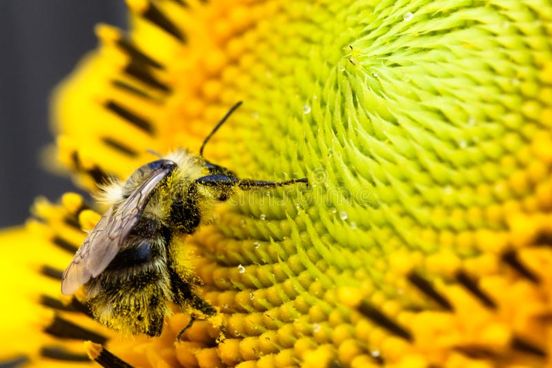 Pollinator bee collecting pollen on the disc surface of a yellow fresh sunflower with water droplets during Spring and Summer. Close up macro photo stock images