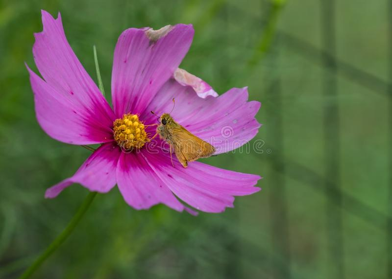 The pollinator. Bright pink flower with yellow center with a butterfly drinking nectar stock images