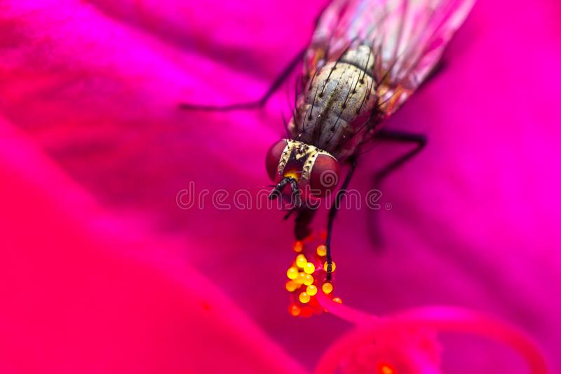A pollinator fly on flower pollen. Diptera working as a pollinator on a pink flower royalty free stock photography