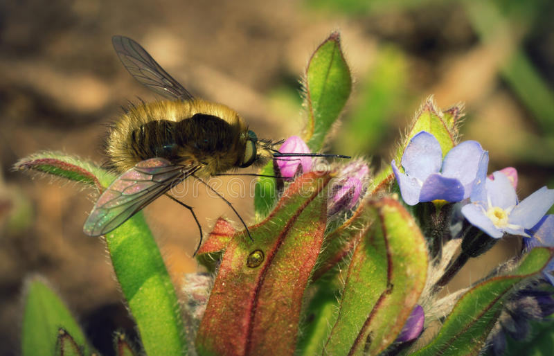 Pollinator insect on flower. The detail photo of pollinator insect on flower stock images