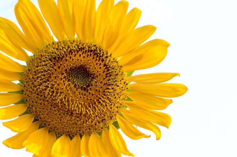 Polline del girasole fotografia stock libera da diritti