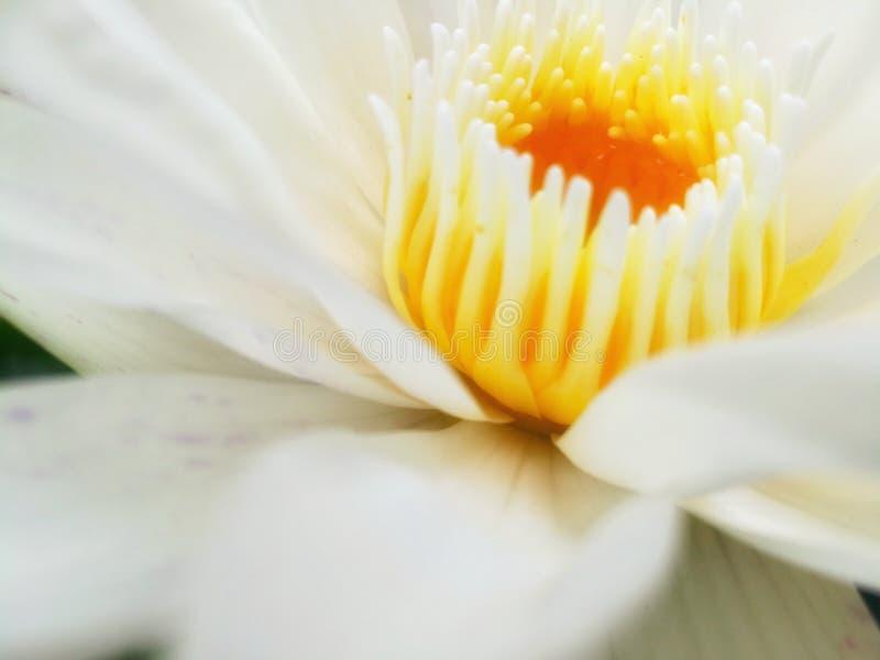 Polline di Lotus fotografie stock libere da diritti