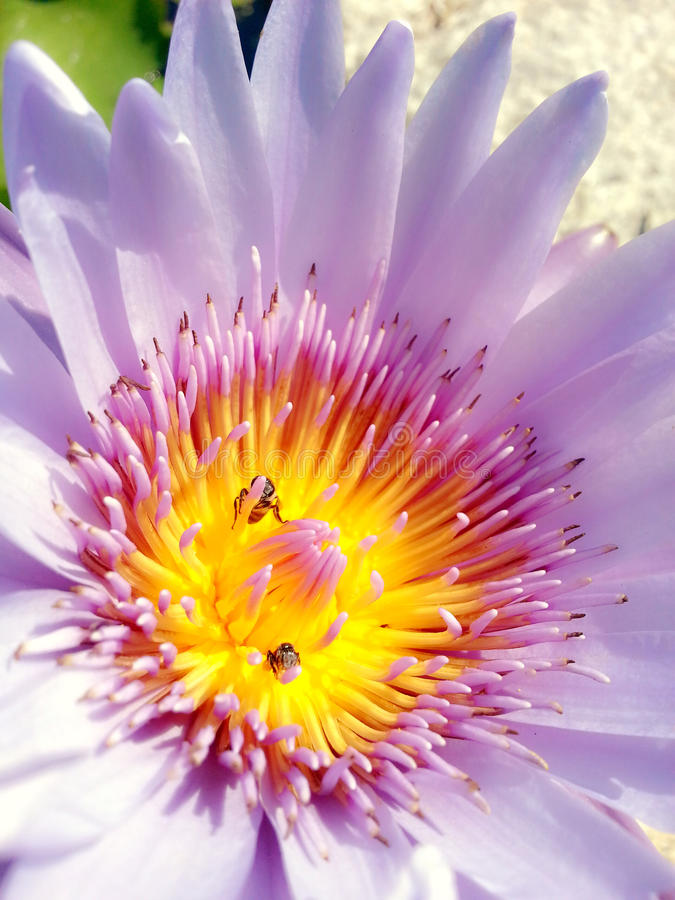 Polline giallo della ninfea porpora fotografie stock