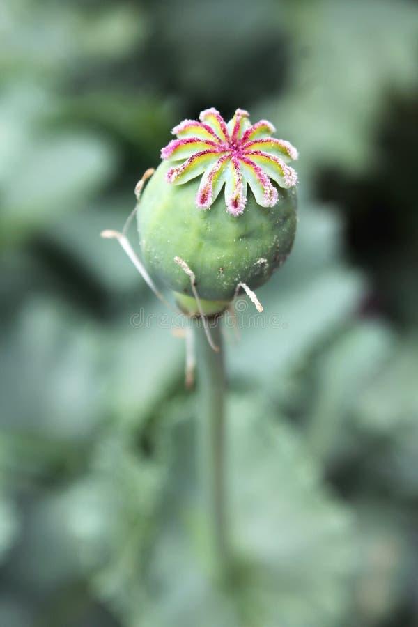 Polline su Poppy Fruit fotografia stock libera da diritti
