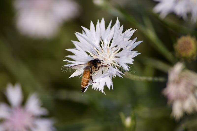 Pollinera biet på ett slut upp den vita isolerade blomman som söker för mat med grunt djup av fältet i, parkera royaltyfri bild