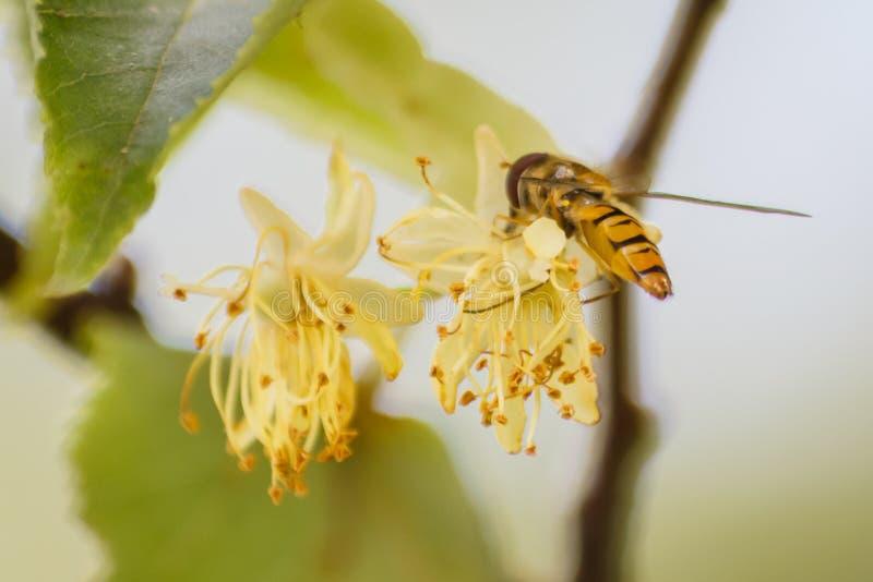 pollinera för biblomma royaltyfria bilder