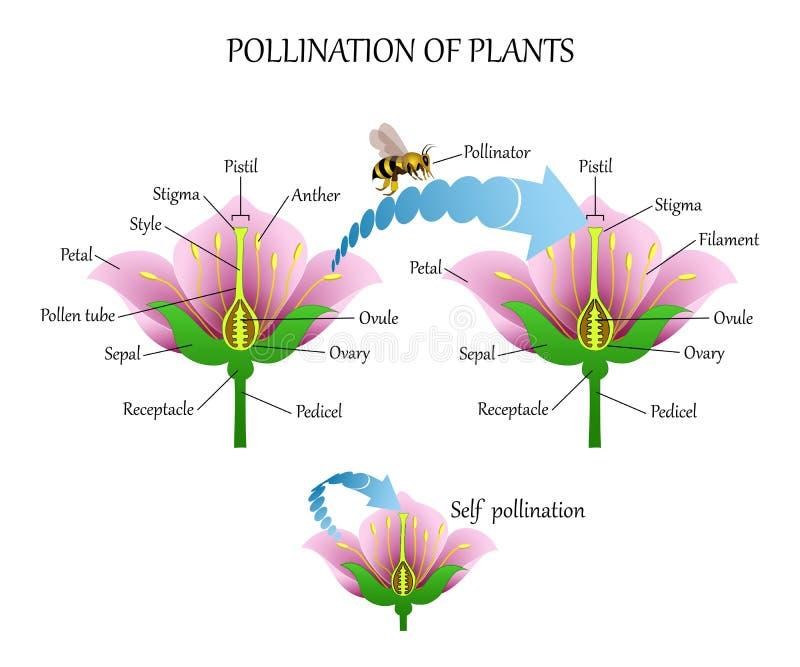Pollinera växter med kryp och själv-pollination, diagram för blommaanatomiutbildning, botaniskt biologibaner Vektorillustrat vektor illustrationer