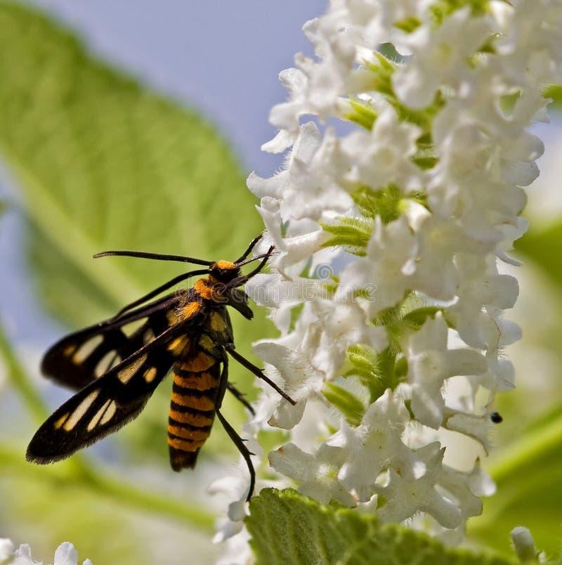 Pollinisation image libre de droits