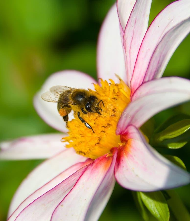 Pollinisation photo stock