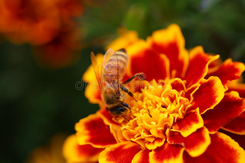 pollinisation photographie stock