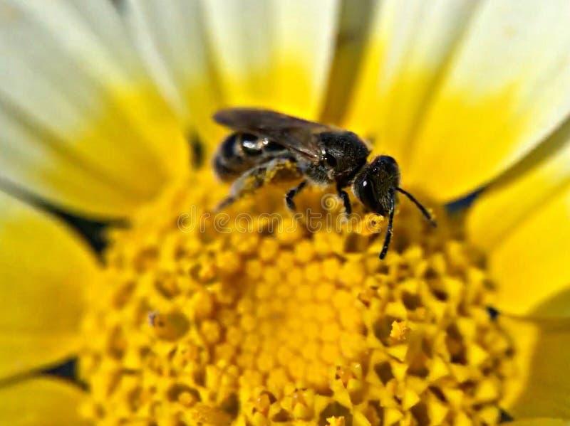 Pollinisation d'abeille photos libres de droits