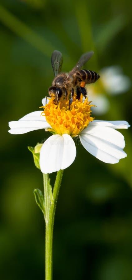 Pollinisation d'abeille photographie stock