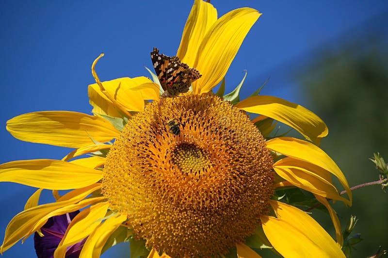 Pollinisation de tournesol photographie stock libre de droits