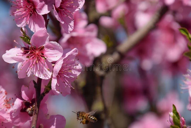Pollinisation des fleurs par la pêche d'abeilles images stock