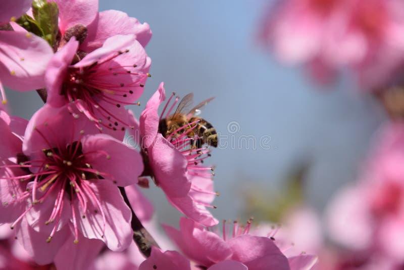 Pollinisation des fleurs par la pêche d'abeilles photographie stock