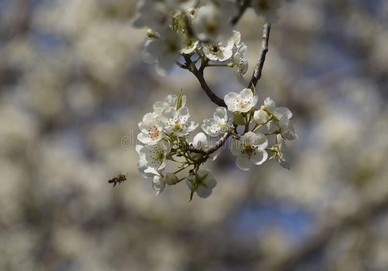 Pollinisation des fleurs par des poires d'abeilles photo stock