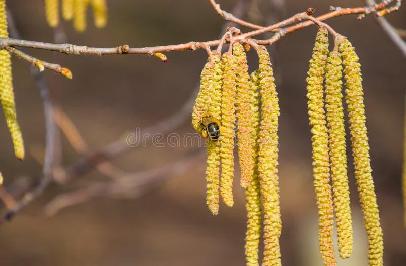 Pollinisation par la noisette de boucles d'oreille d'abeilles Noisette de noisette fleurissante photos libres de droits