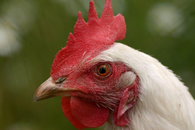 Pollo fotografia stock libera da diritti