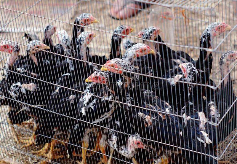 pollo immagine stock